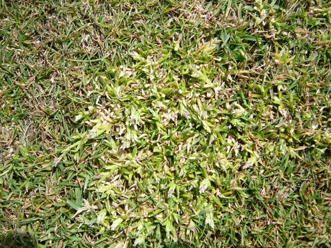 Poa annua to bent/fescue