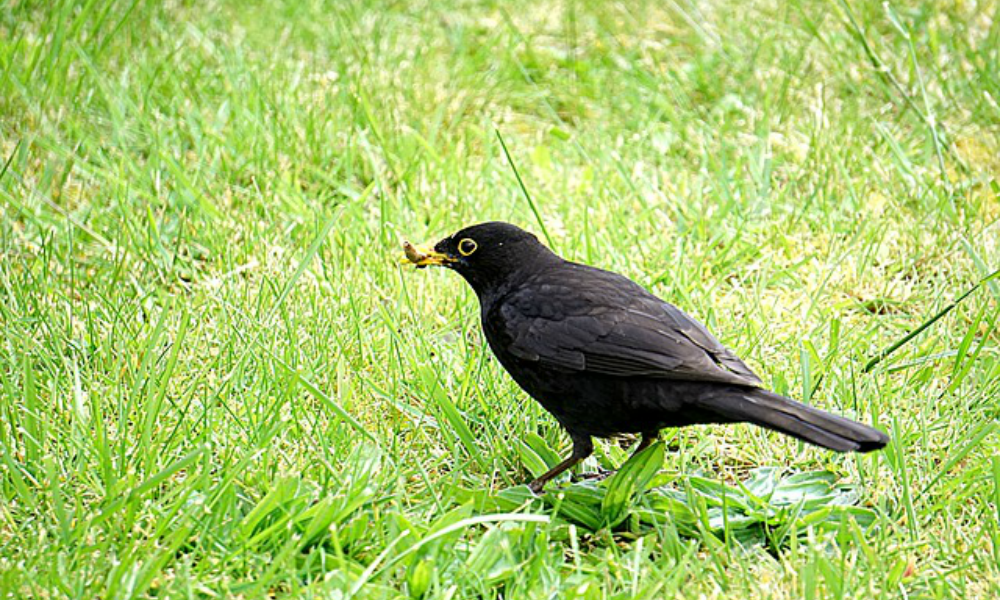 Bird Damage to Bowls Greens