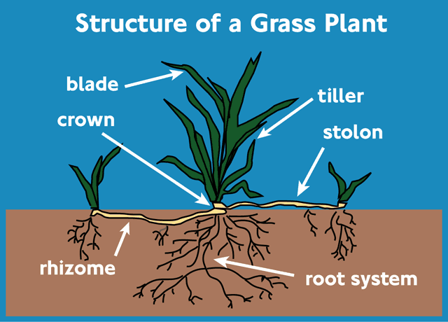 Structure of a grass plant