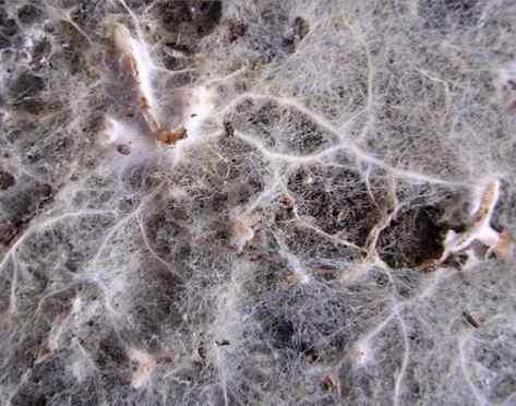 mychorrizae