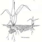 rhizomatous