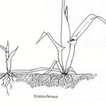 stoloniferous