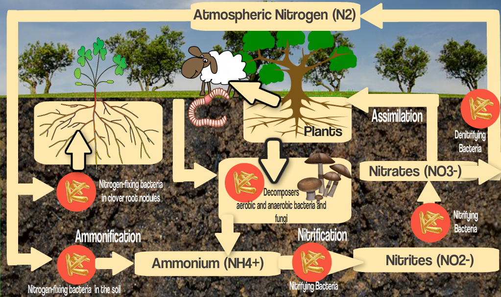 nitrogen cycle and the soil food web