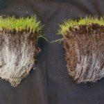 Mycorrhizal fungi and turf health