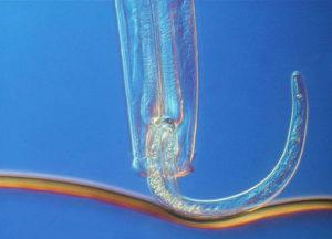 predatory-nematode-eating-root-feeder