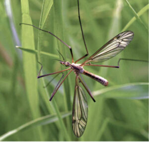 Adult Cranefly (Daddy Longlegs)